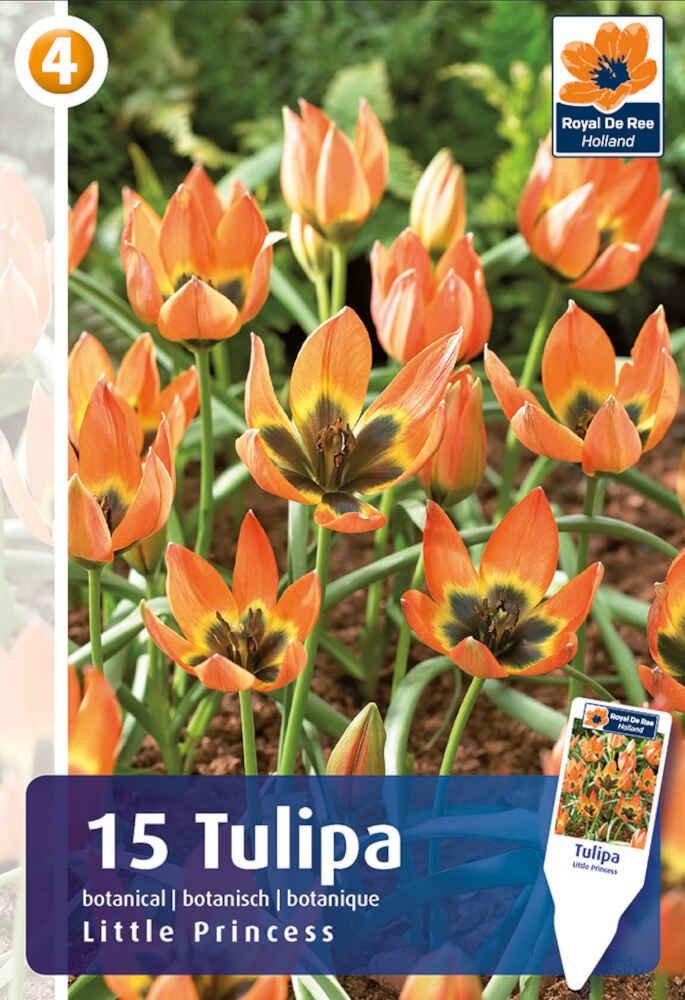 Tulipanløg - Tulipa 'Little Princess 6+
