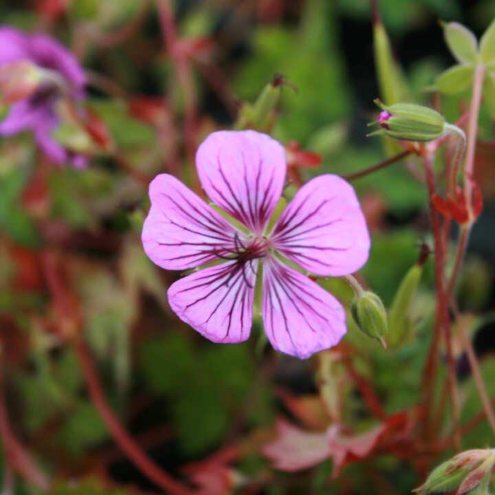 Storkenæb - Geranium hybrid 'Pink Penny'