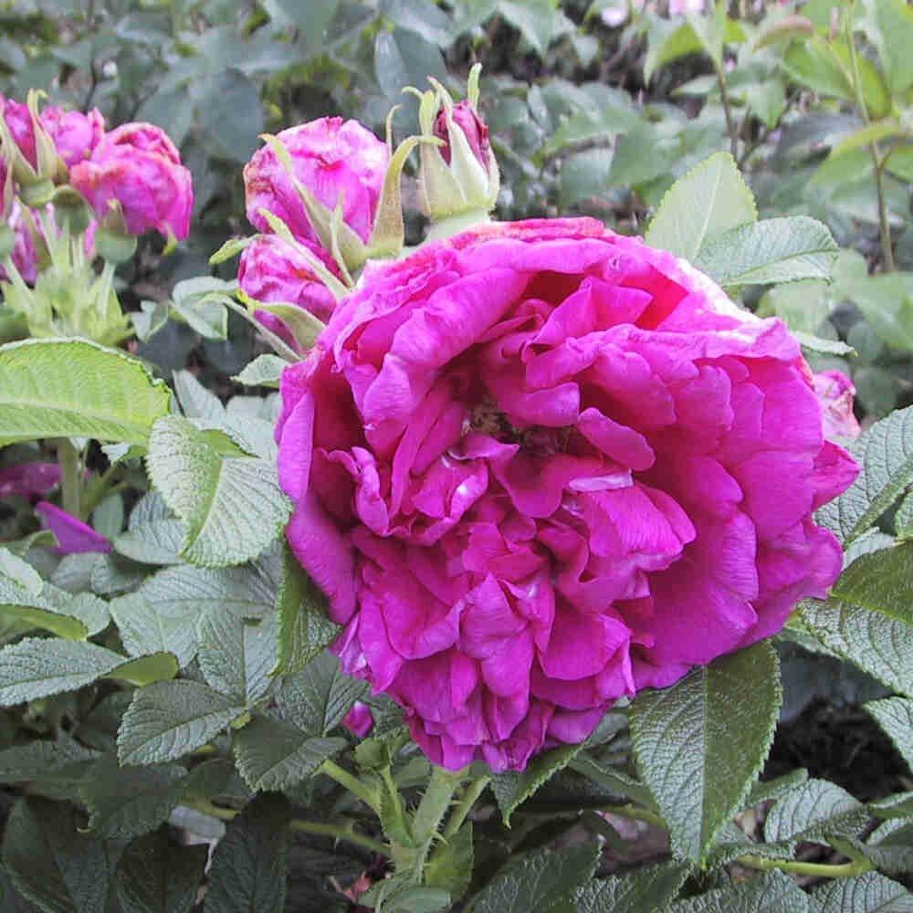 Hybenrose rugosa 'Roseraie de l'Hay