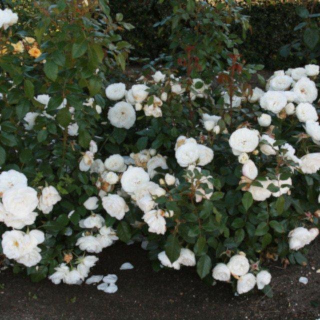 Helt hvide blomster på rose Prague