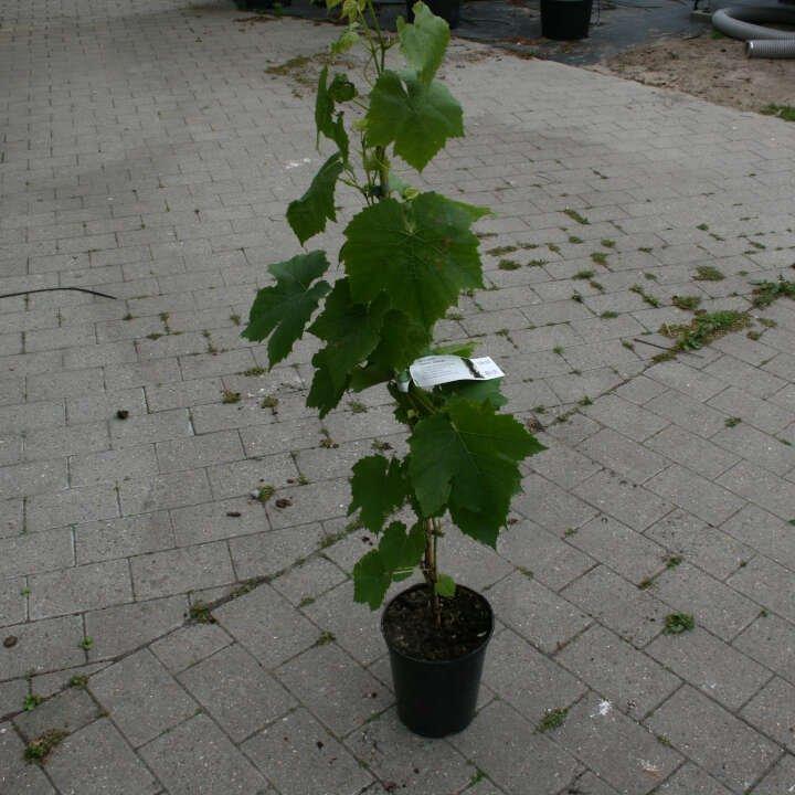Vindrueplante - Vitis vinifera 'Glenora'