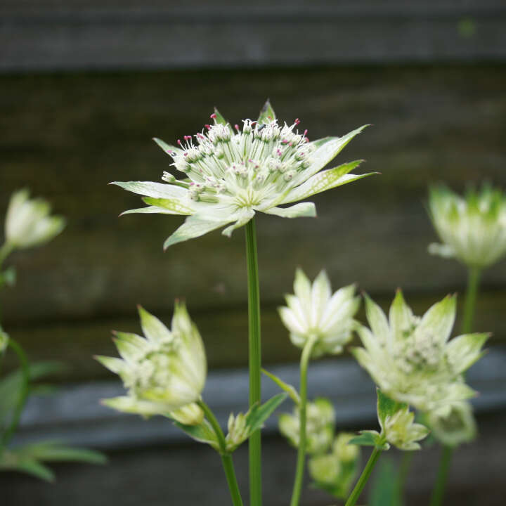 Stjerneskærm - Astrantia hybrid 'Snow Star'®