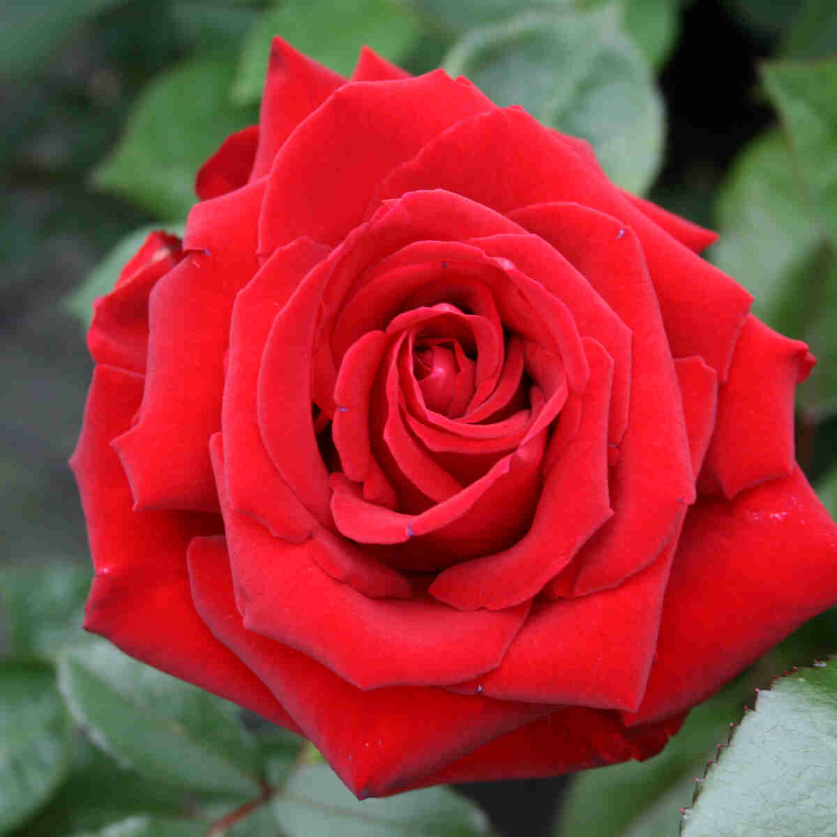 Rose 'Ingrid Bergman'