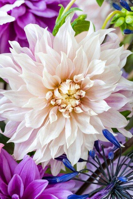 Dahlia Café Au Lait Large-flowered