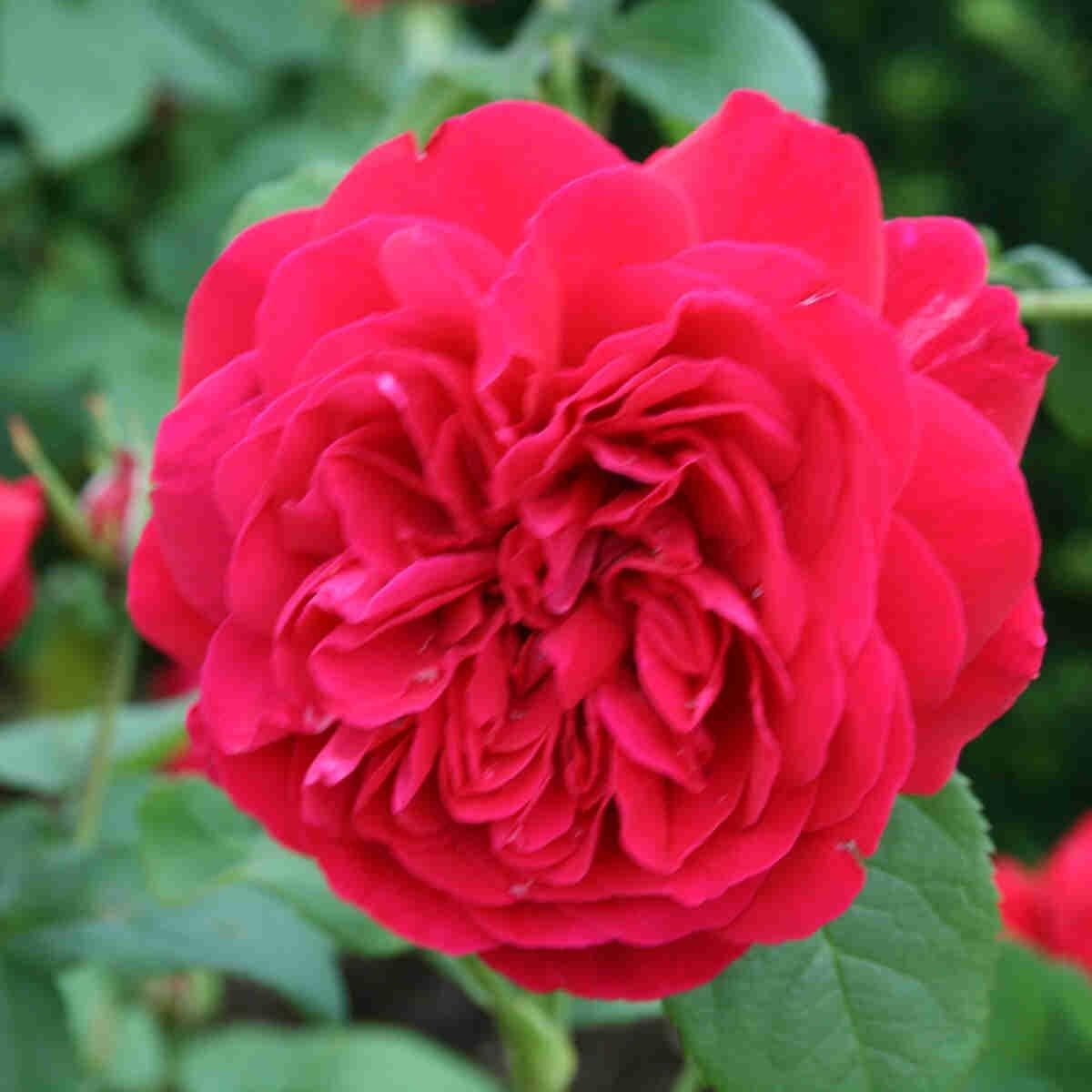 Rose 'L. D. Braithwaite'