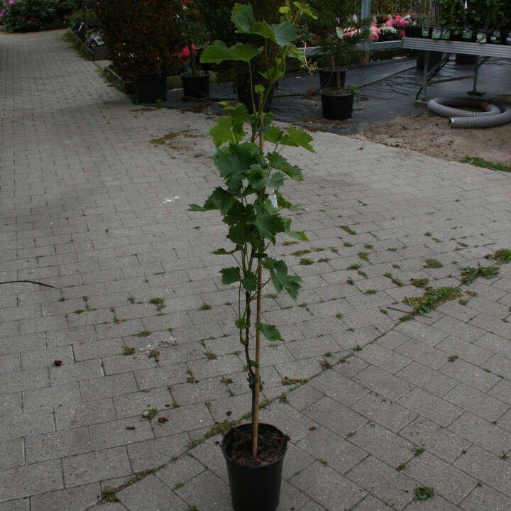 Vindrueplante - Vitis vinifera 'Juliana'
