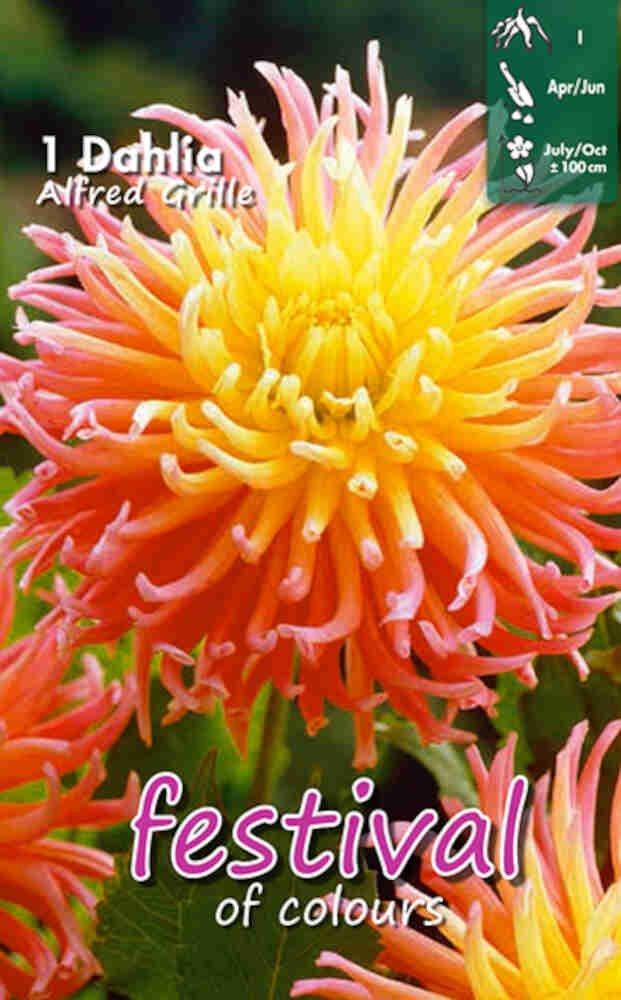 Dahlia Alfred Grille (Semi)Cactus