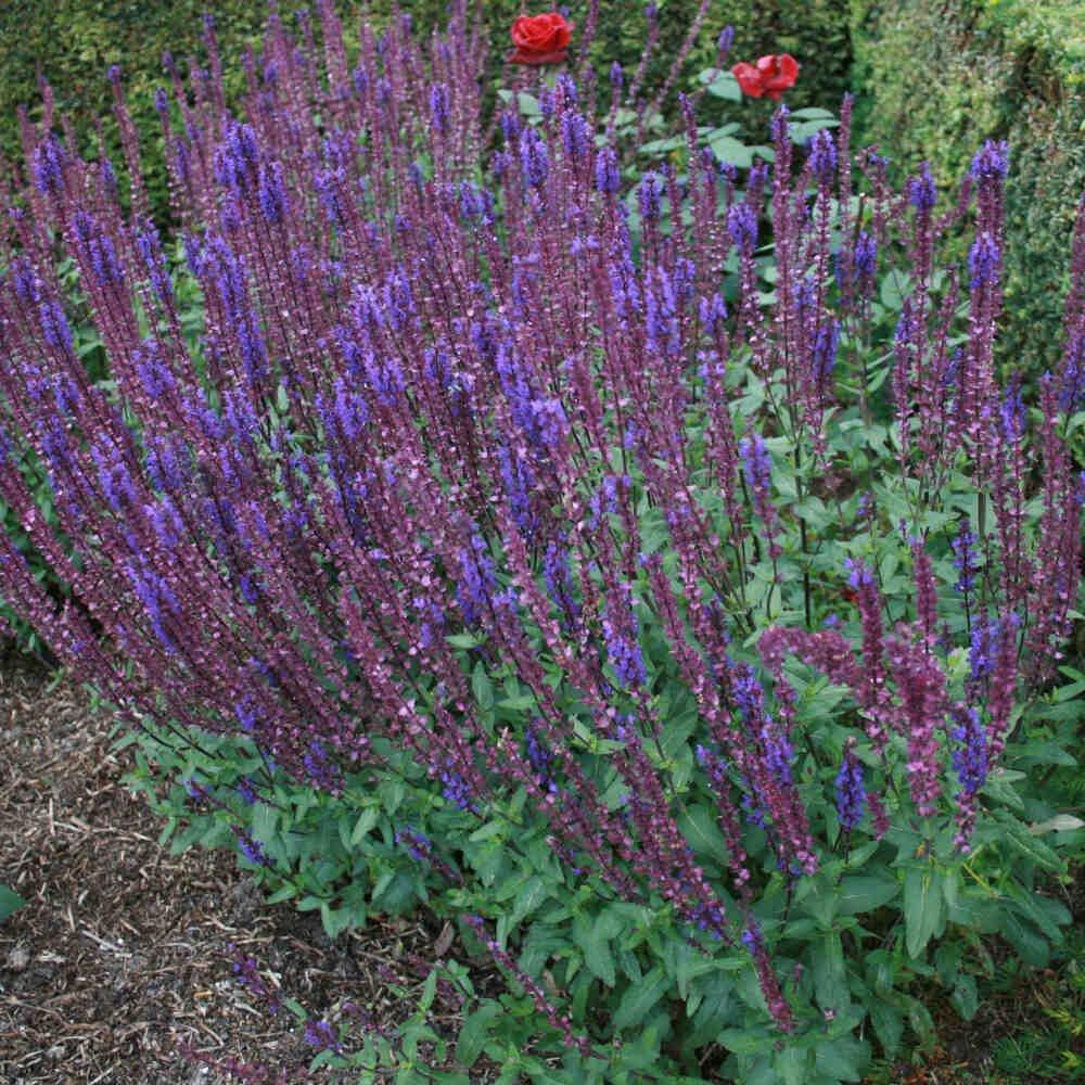 Staudesalvie - Salvia nemerosa 'Caradonna'