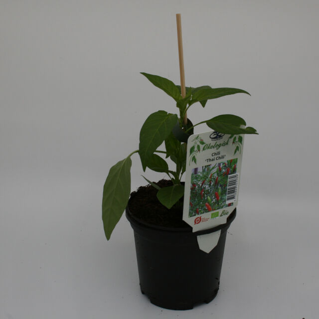 Chiliplante - Capsicum 'Thai Chili'