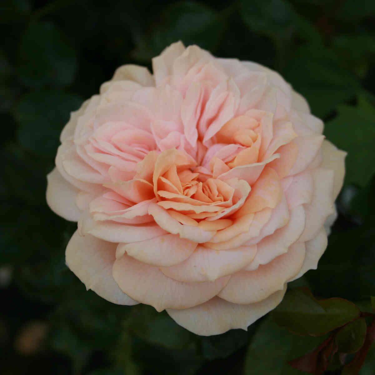 Rose 'Garden of Roses'