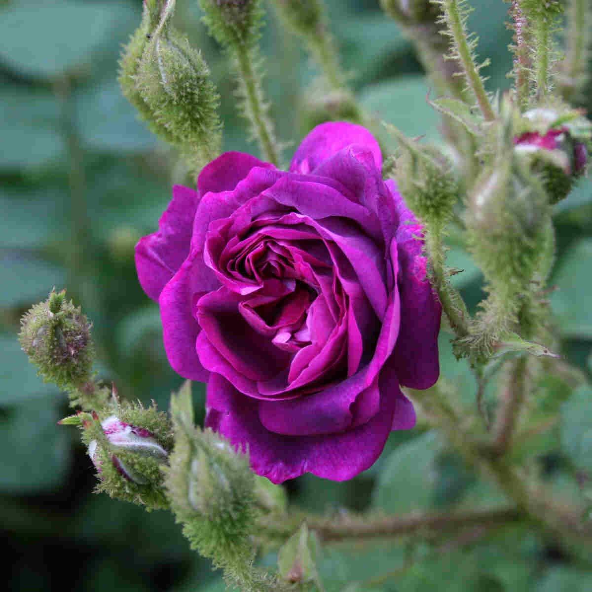 Mosrose centifolia 'William Lobb'