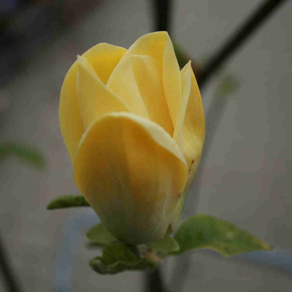 Magnolia yellow bird med smuk varm gul blomst