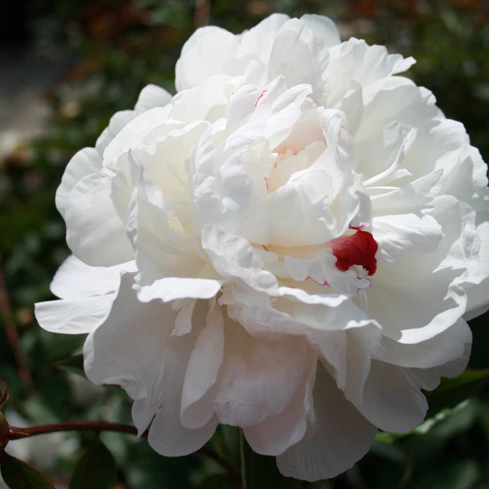 Silkepæon - Paeonia lactiflora 'Festiva Maxima'