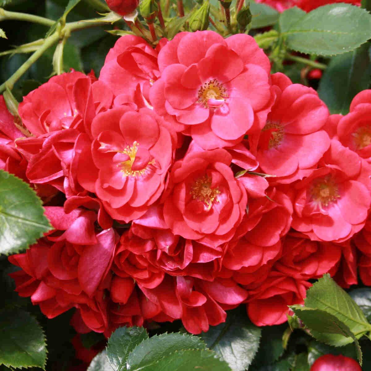 Bunddække Rose 'Kesse Lippe'