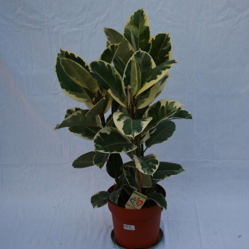 Gummiplante - Ficus elastica 'Tineke'