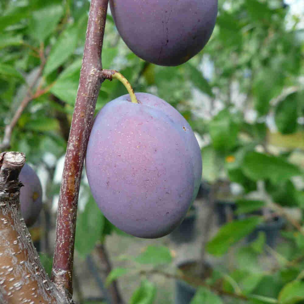 Blommetræ - Prunus domestica 'Hanita'