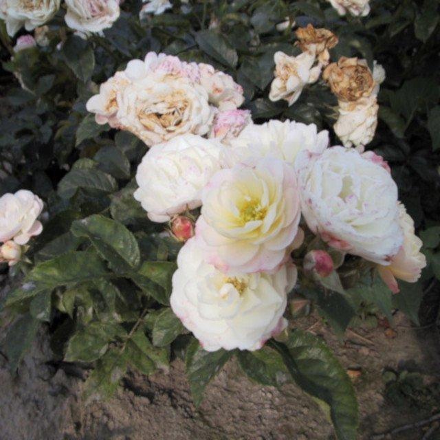 Blosmter i Bouquet Parfait moschata rose