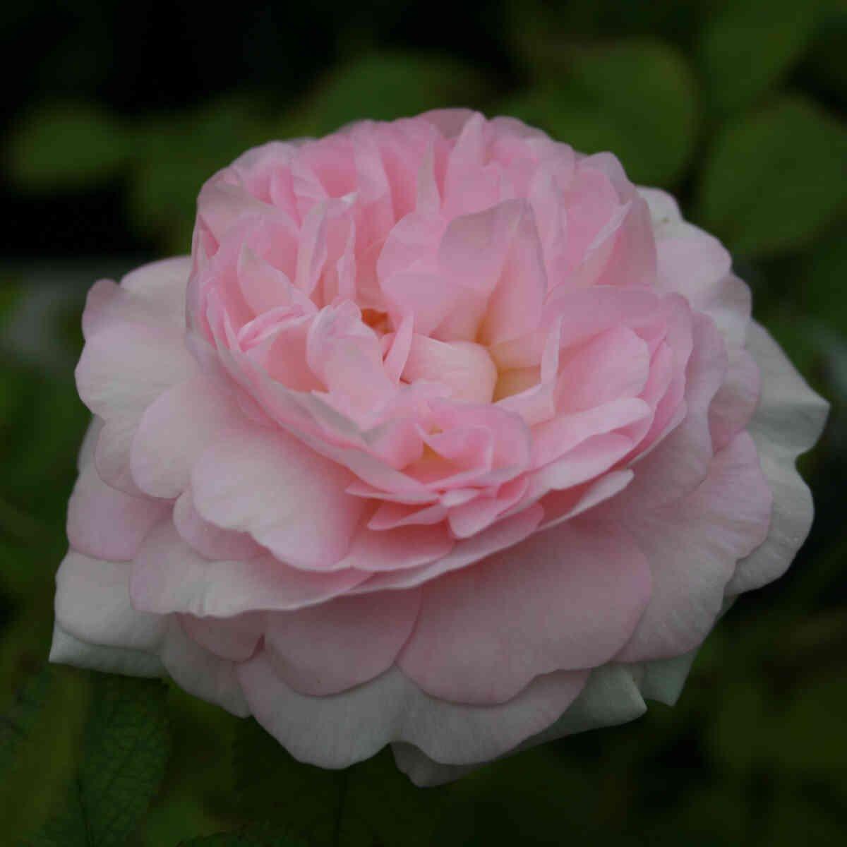 Lyserød blomst i alba rose Chloris