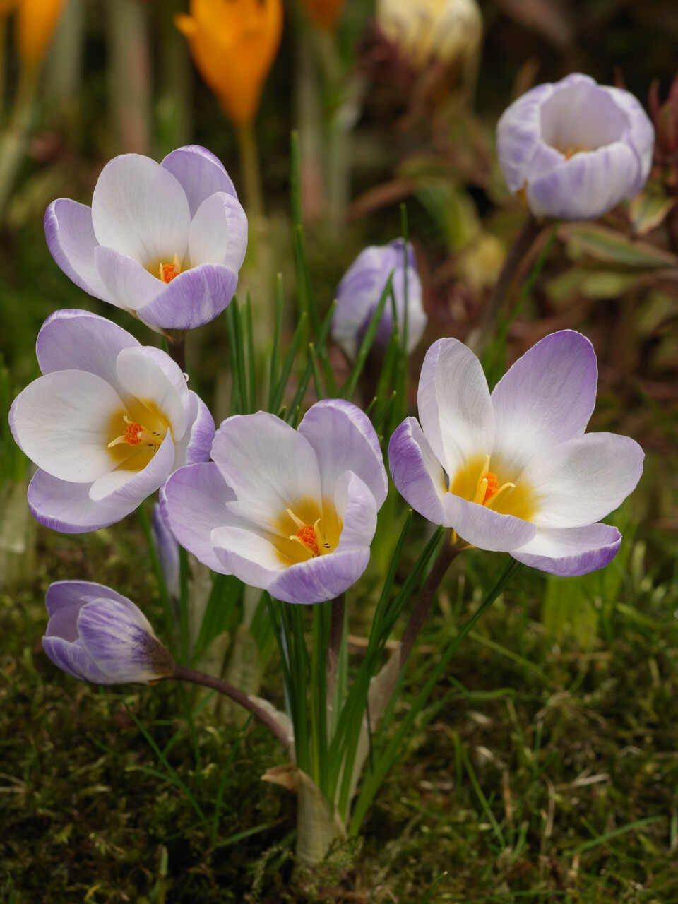 Krokus - Crocus  Chrysanthus Blue Pearl (5/+)