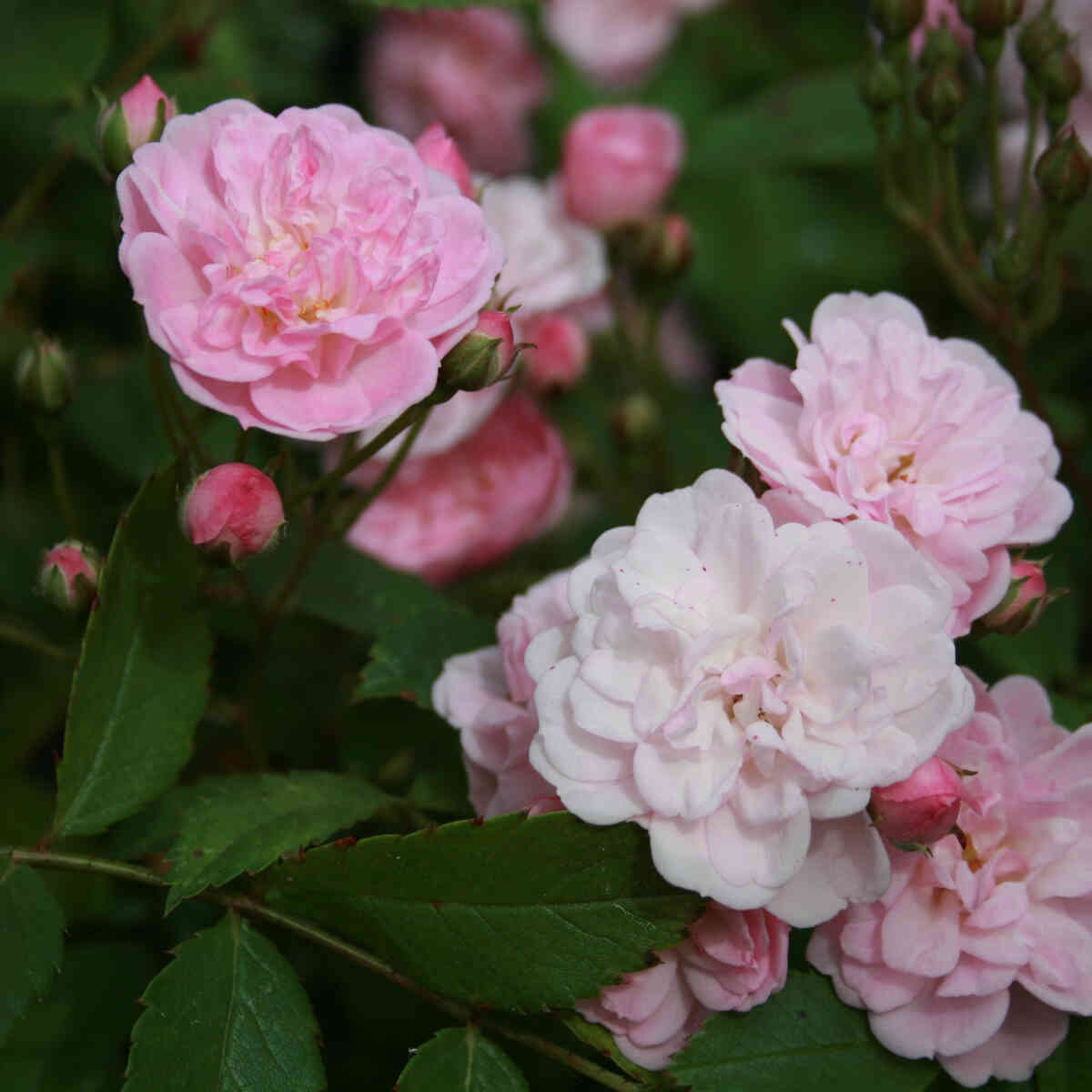 Rose moschata 'Heavenly Pink'