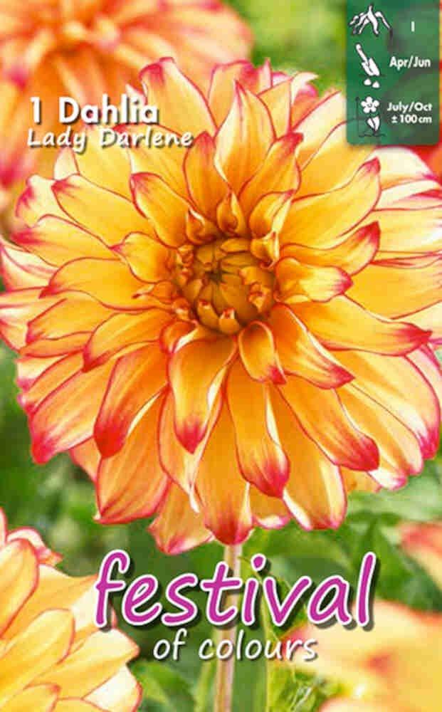 Dahlia Lady Darlene Decorative