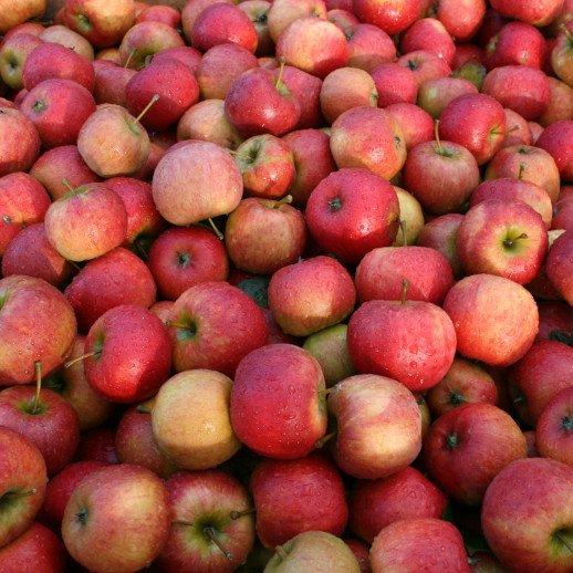 Æbletræ - Malus domestica 'Pirouette Rubinstep'