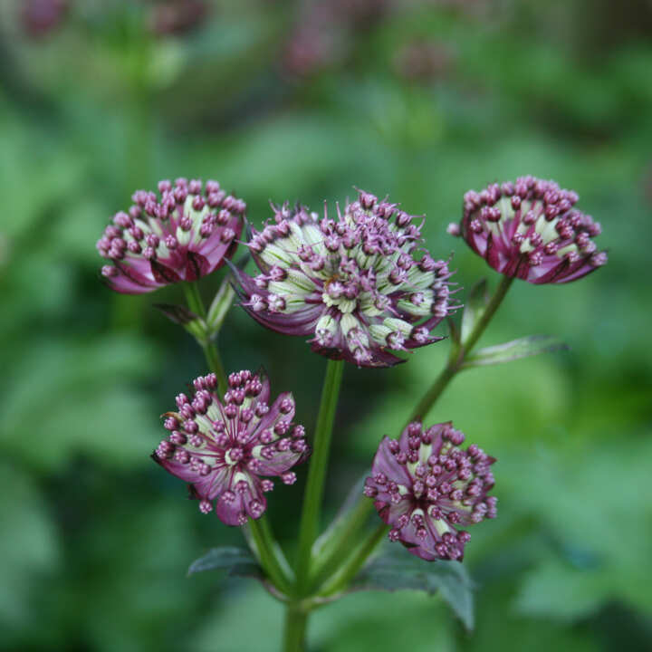Stjerneskærm - Astrantia major 'Abbey Road'