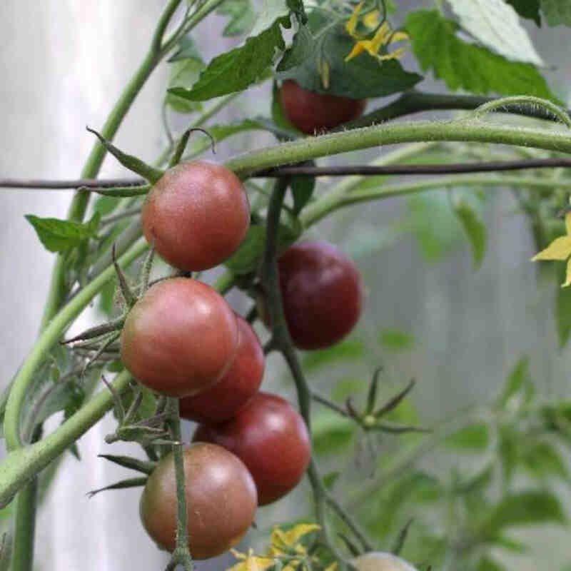 Tomatplante - Cherrytomat 'Chocolate'