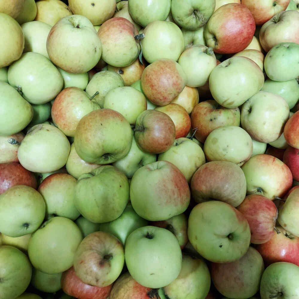 Æbletræ - Malus domestica 'James Grieve'