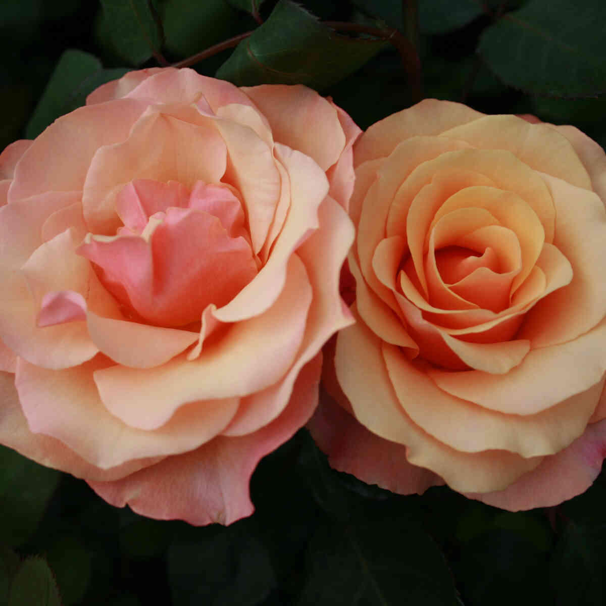 Rose 'Saloon'