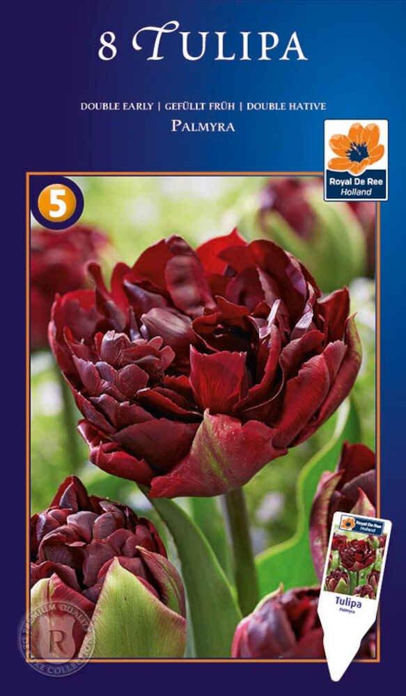 Tulipanløg - Tulipa  Palmyra 12/+
