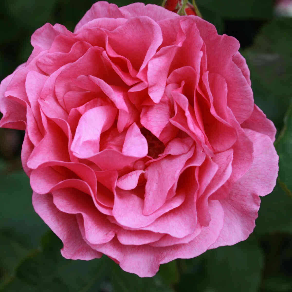 Rose 'Mr. Darcy'