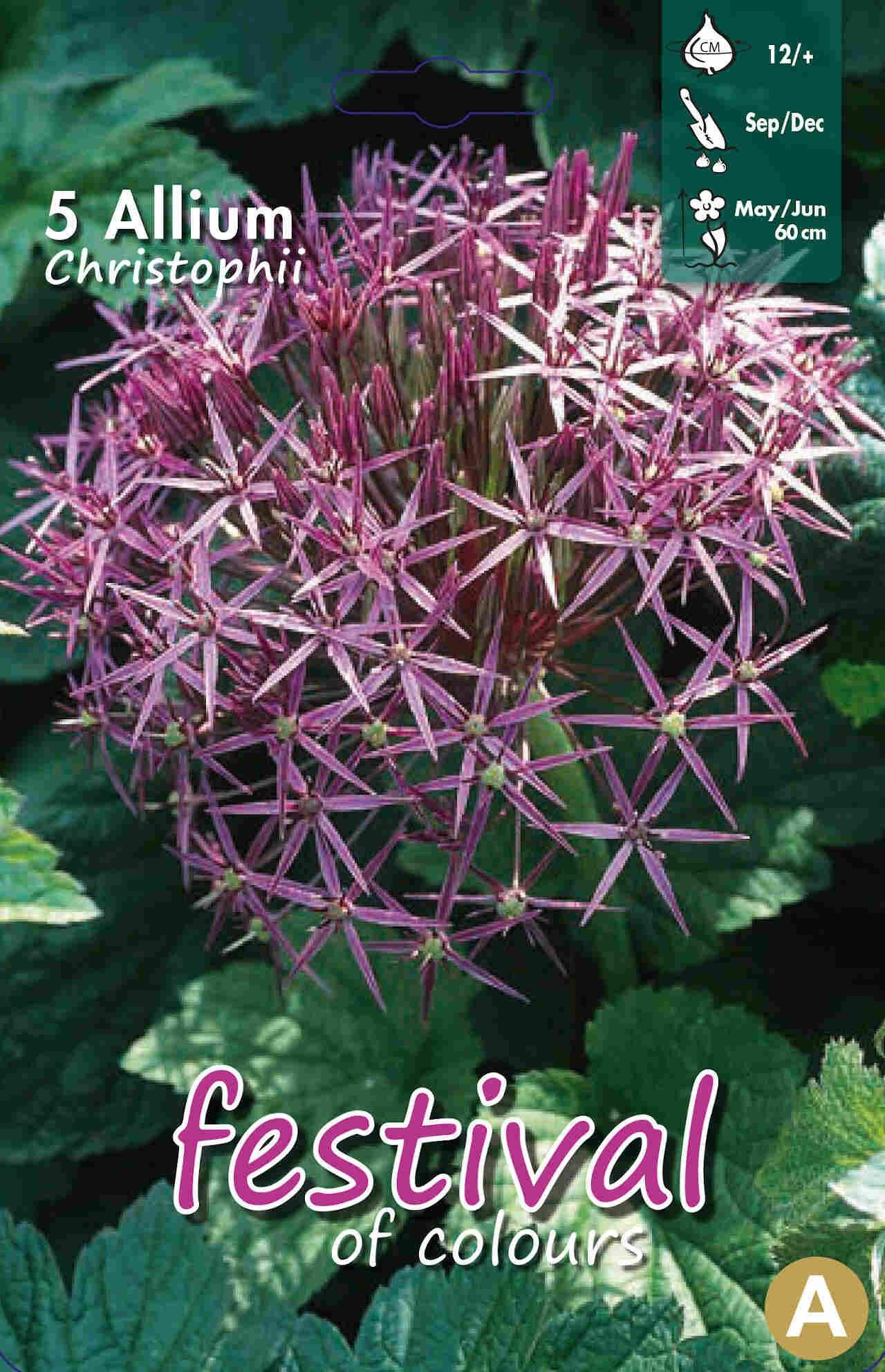Prydløg - Allium Christophii 12/+