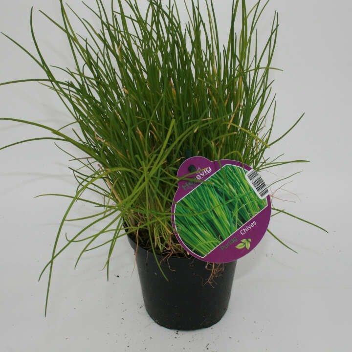 Alm. Purløg - Allium schoenoparsum- 10cm potte