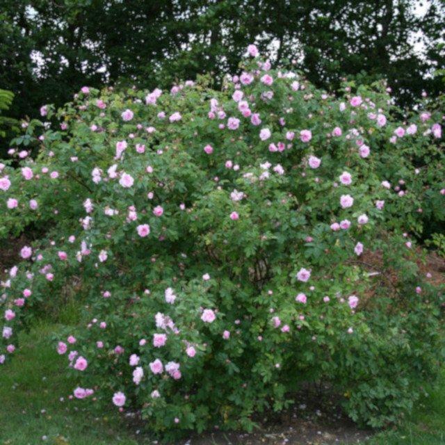 Alba rose hurdal blomstrer i Laubjergs Rosenhave