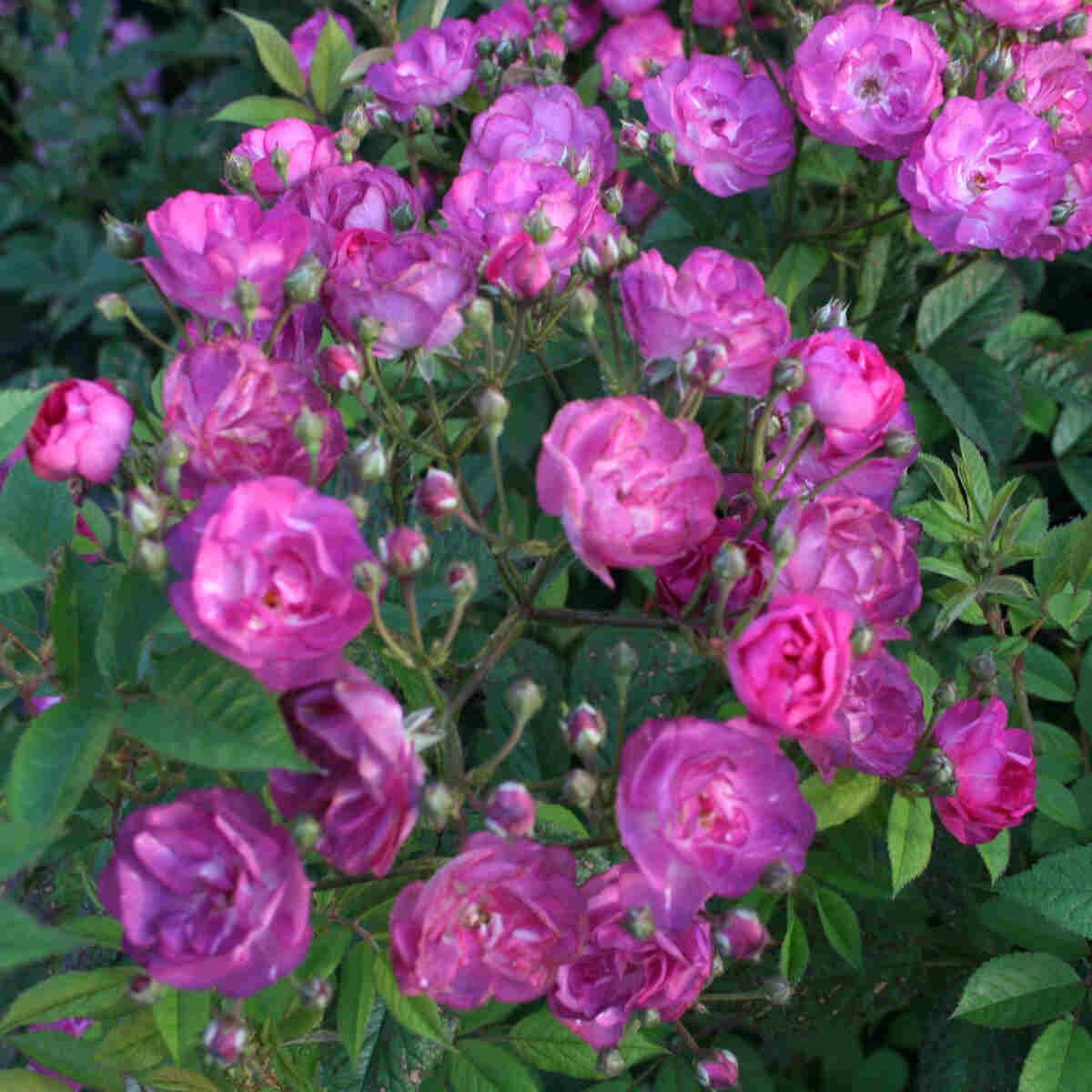 Rose moschata 'Sibelius'