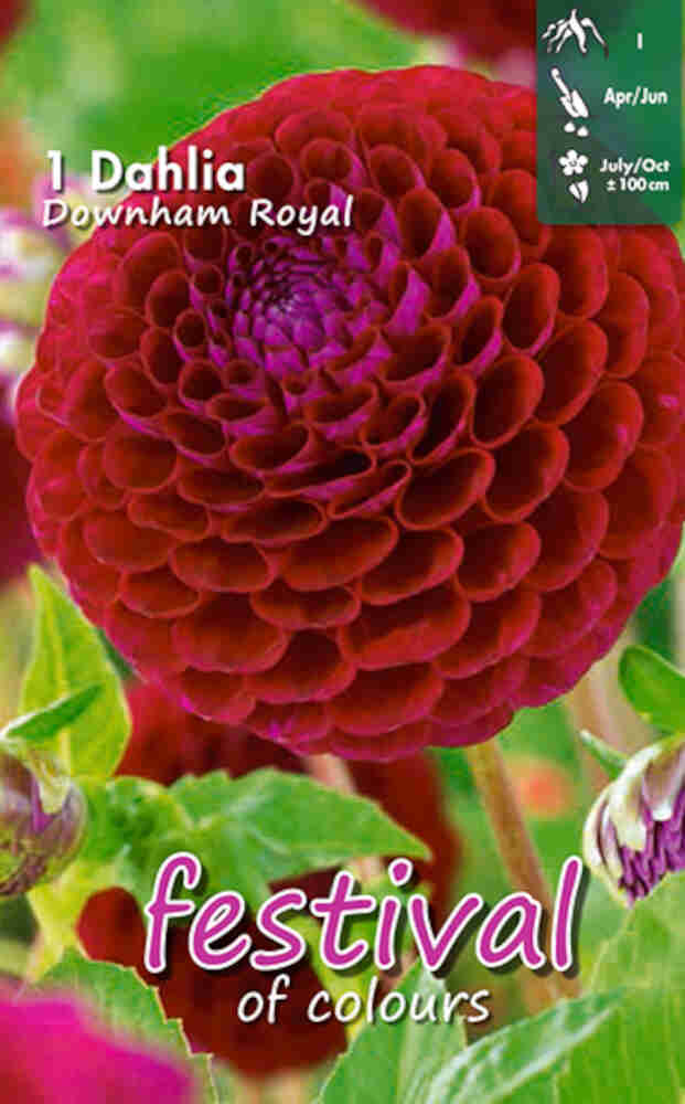 Dahlia Downham Royal, Ball