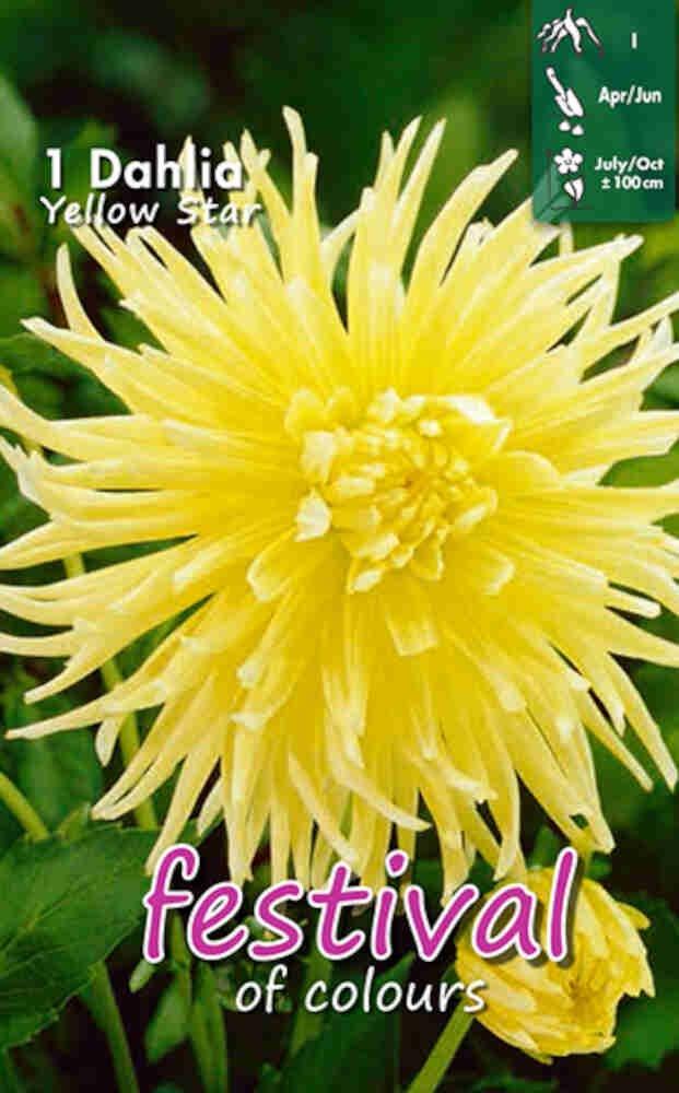 Dahlia Yellow Star Cactus