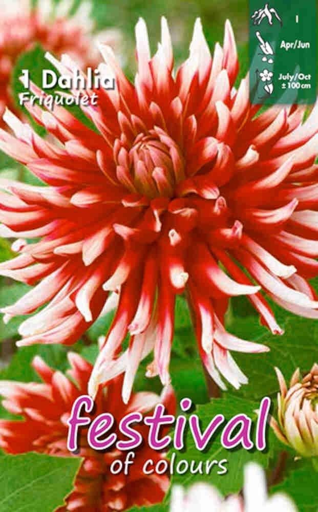 Dahlia Friquolet Cactus