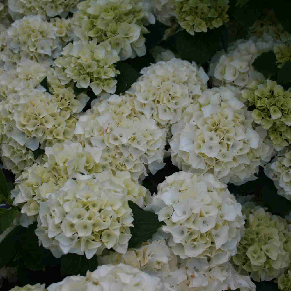 Hortensia - Hydrangea macrophylla 'Forever & ever Hvid'
