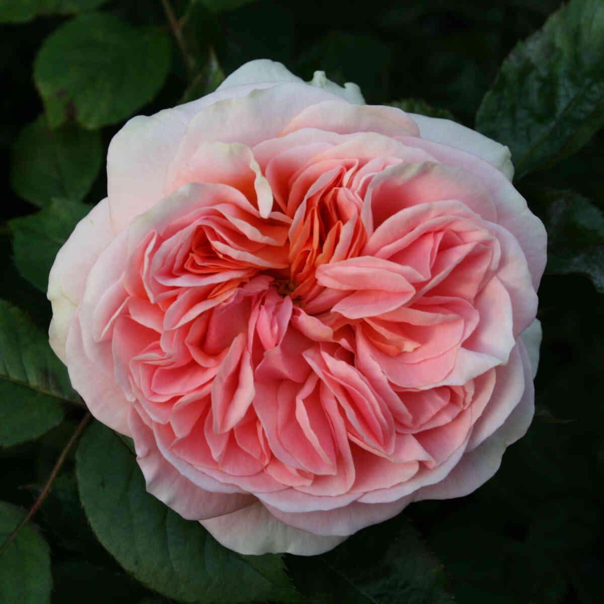 Rose 'Ghita Renaissance'