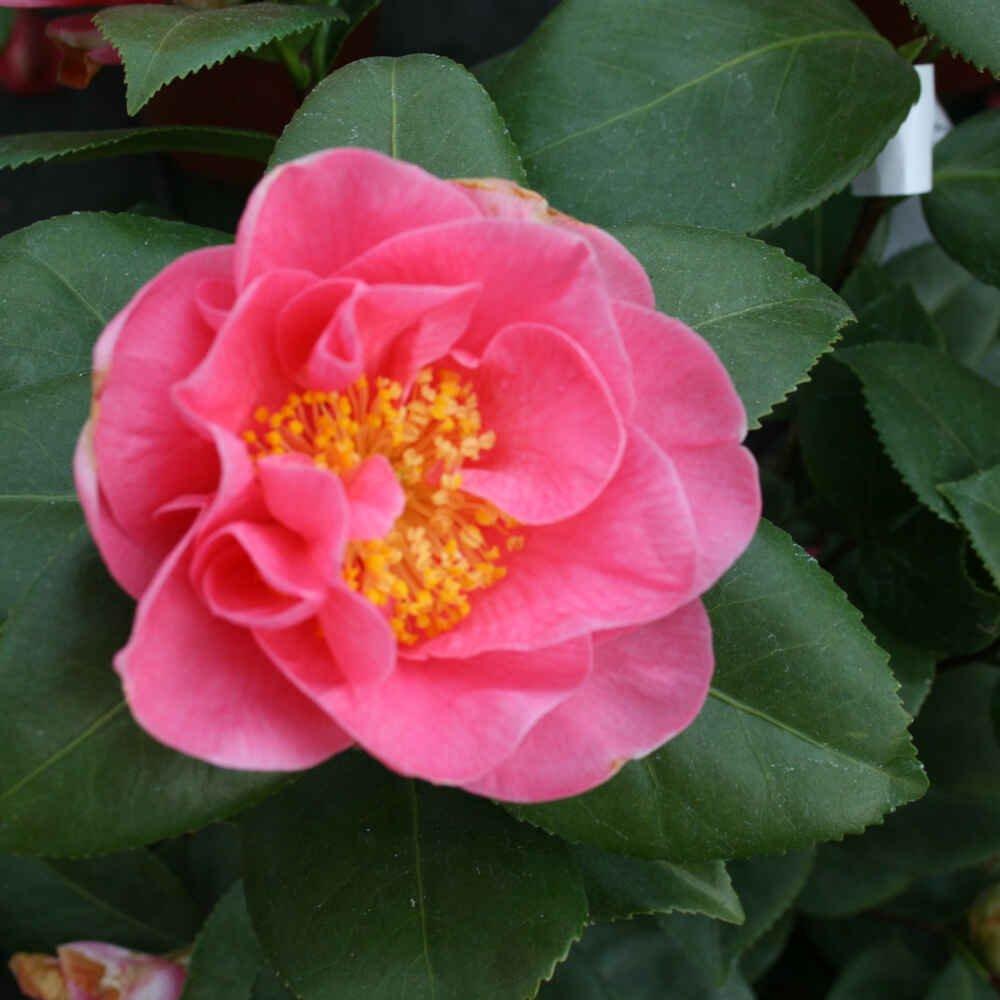 Kamelia - Camellia japonica 'California'