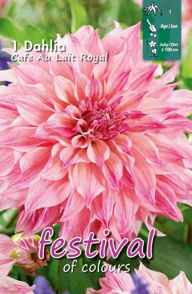 Dahlia Café Au Lait Royal Large-flowered, NYHED