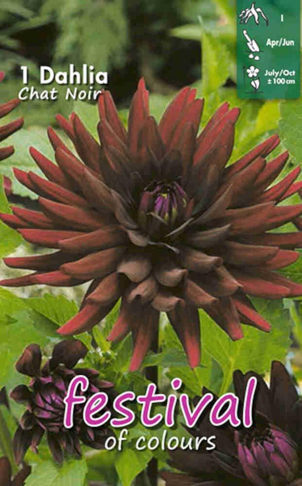 Dahlia 'Chat Noir Cactus'
