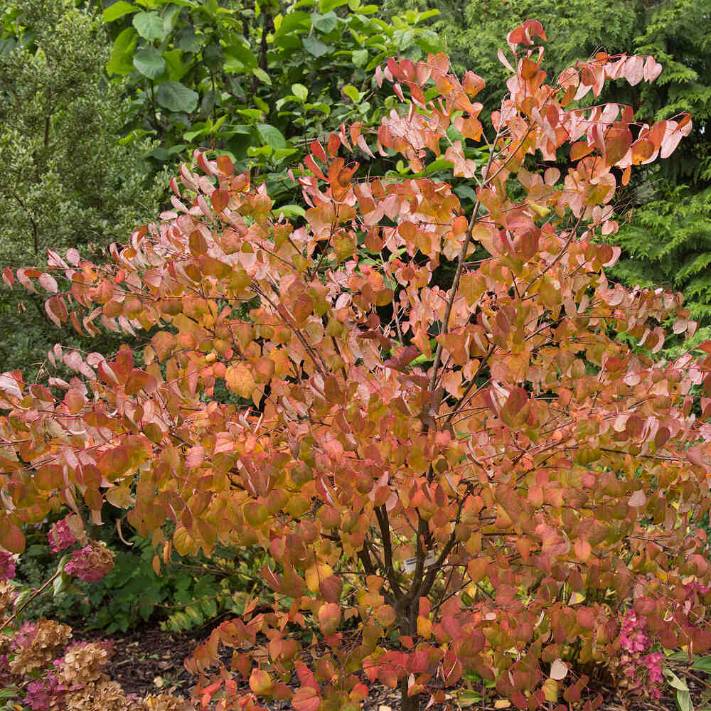 Hjertetræ - Cercidiohylum Japonicum
