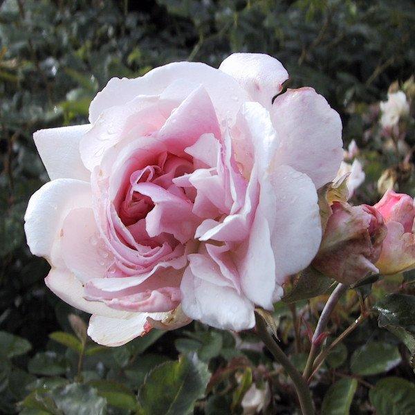 Felicia moschata rose i blomst