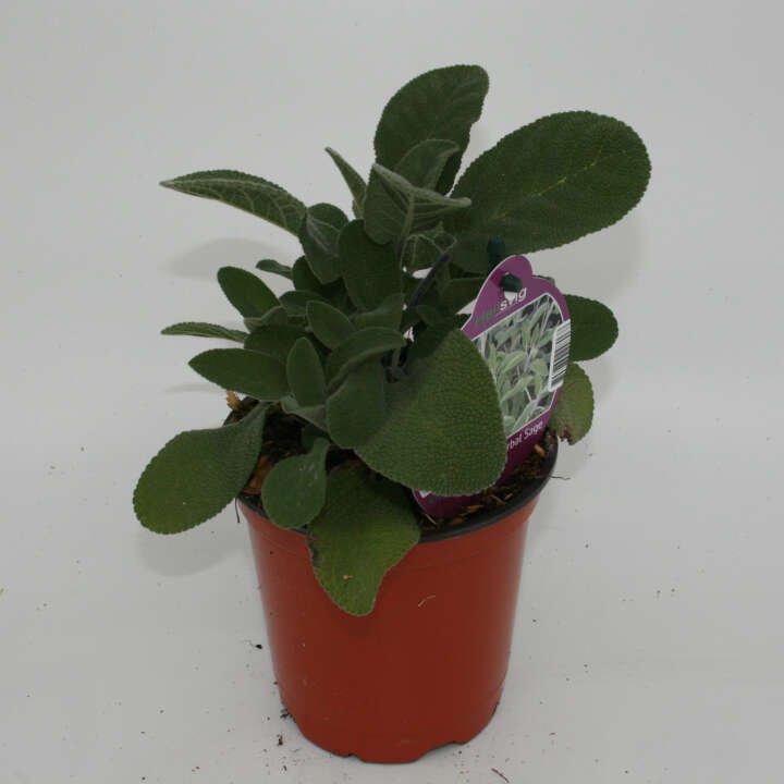 Alm. salvie - Salvia off. - 10cm potte