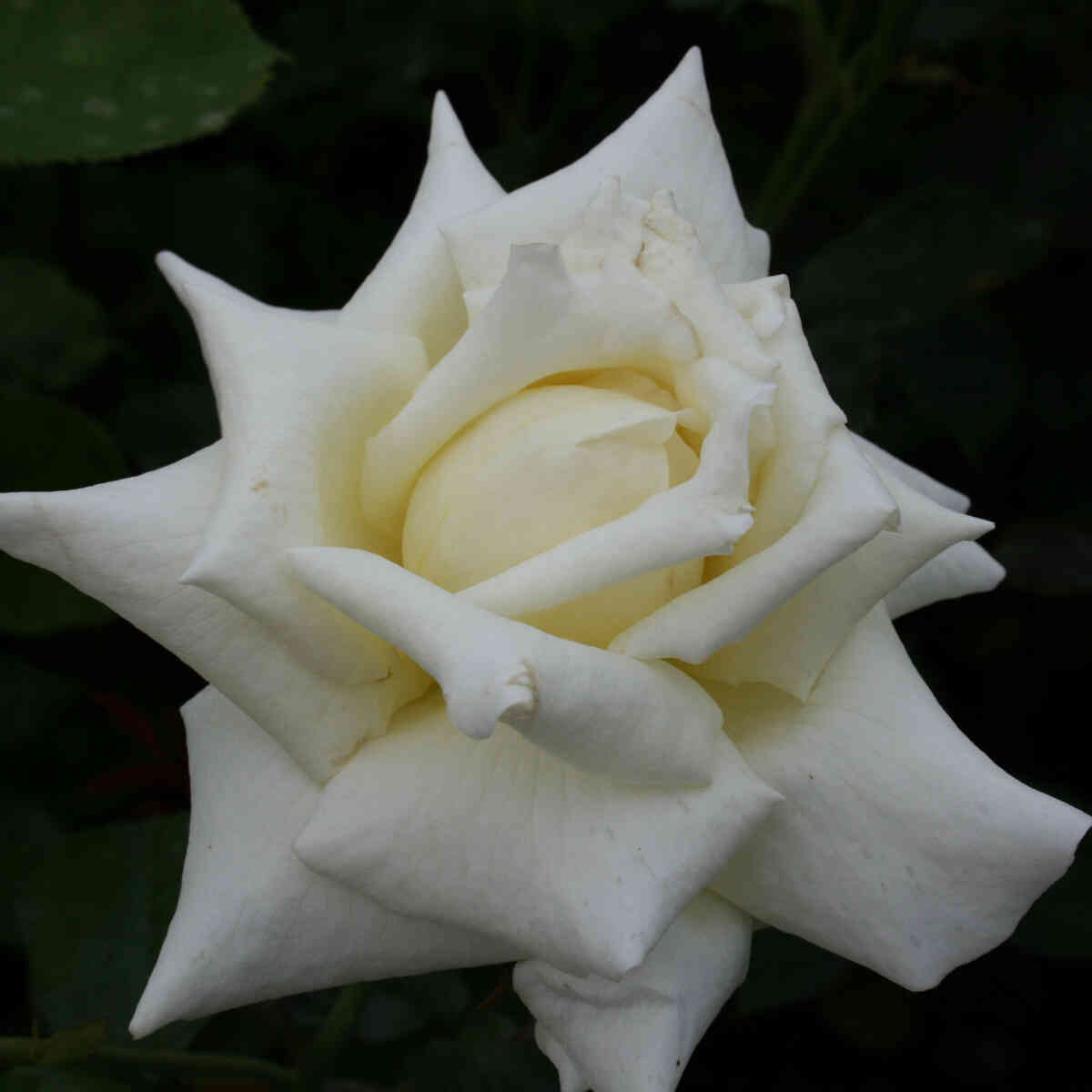 Helt hvid Caroline de Monaco rose