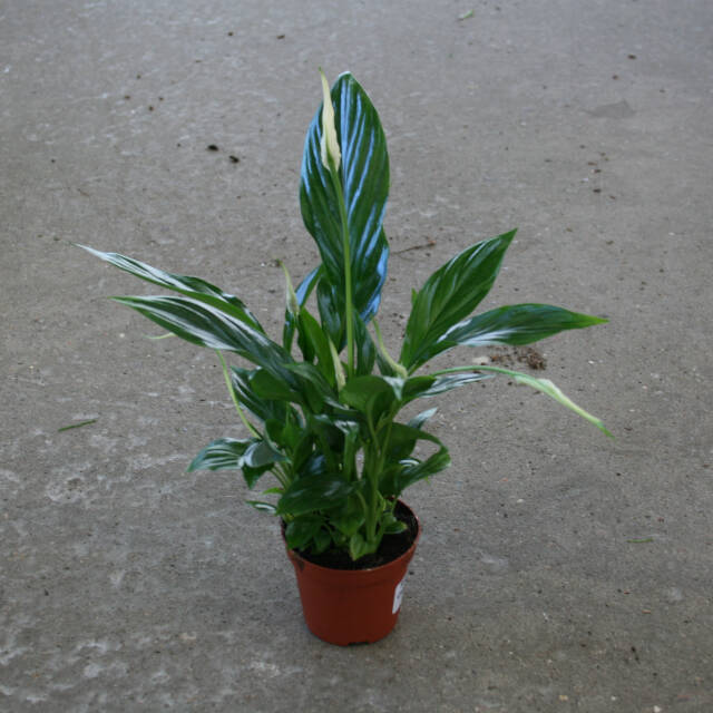 Spathiphyllum Chopin - Fredslilje