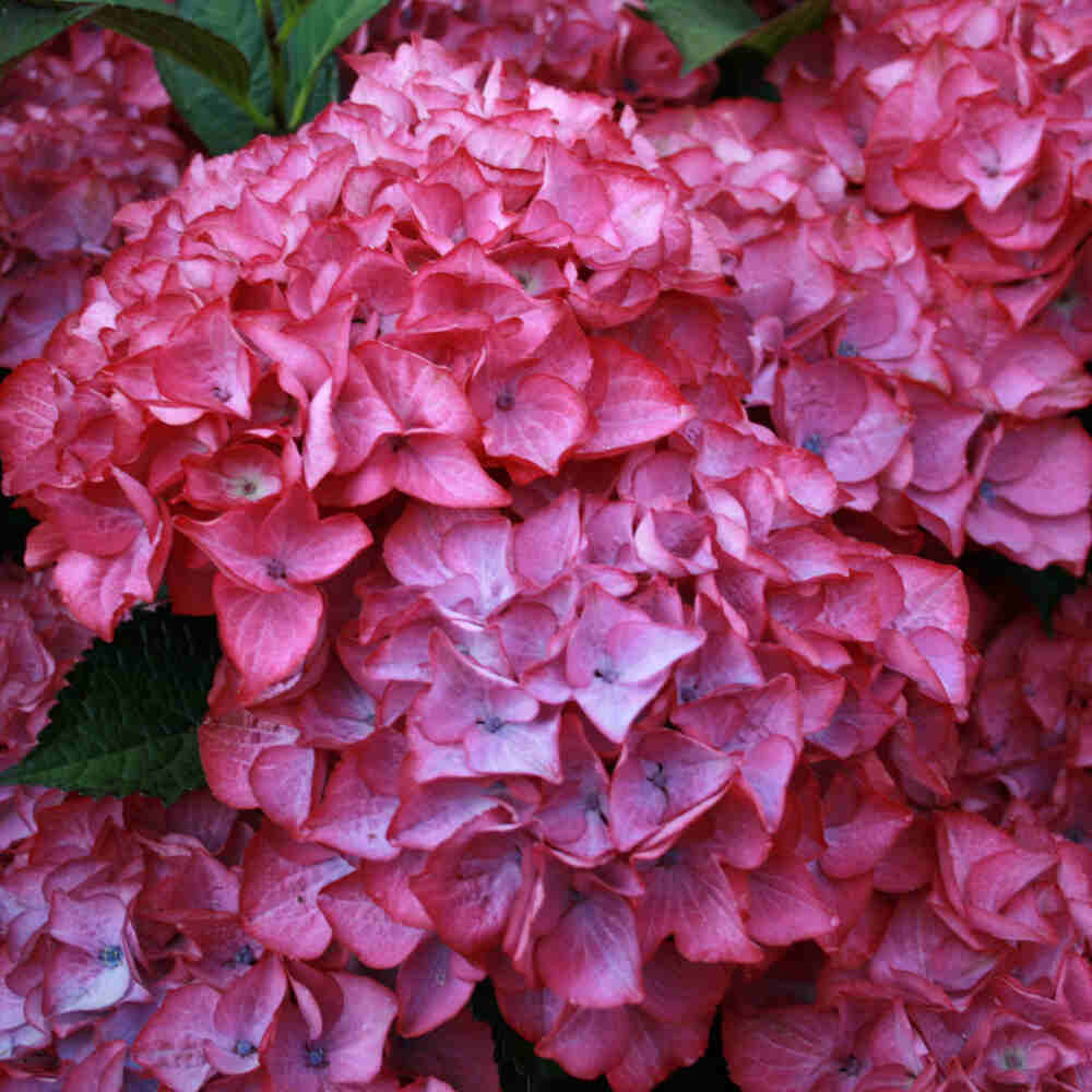 Hortensia - Hydrangea macrophylla 'Red Angel purple'